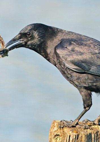 common-raven.jpg